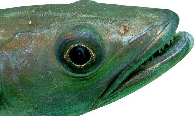 Cabeza de merluza (Merluccius merluccius), su tamaño está relacionado con la talla total del pescado.