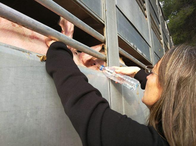 Momento en que una activista le da agua a los cerdos que van a sacrificar.