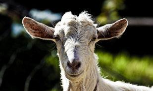 Mark Zuckerberg mató una cabra y se la sirvió fría al CEO de Twitter
