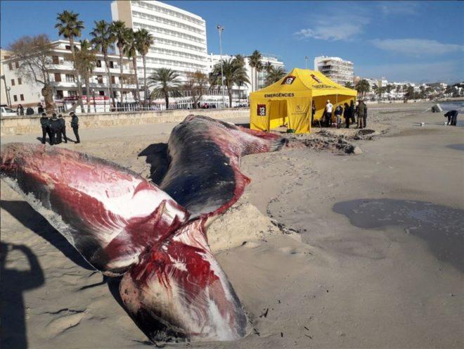¿Qué hacemos con las 10 toneladas de ballena muerta?
