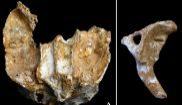 Los huesos de la familia neandertal analizados