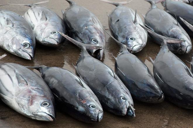 Atunes rojos capturados en la bahía de Cádiz