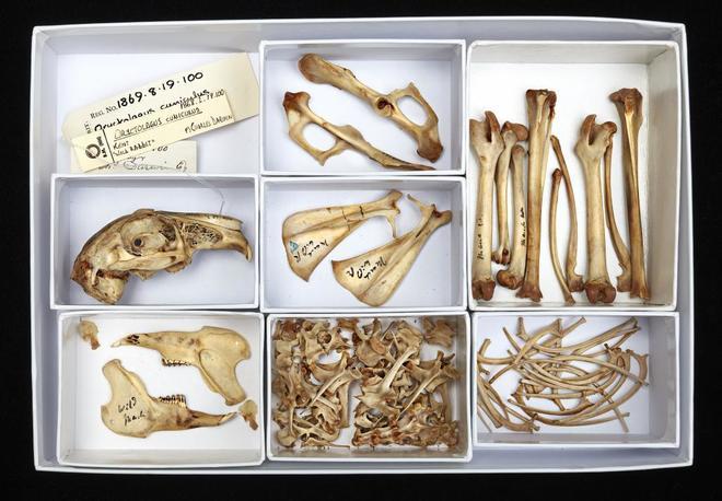 Esqueleto de un conejo perteneciente a la colección de Charles Darwin.