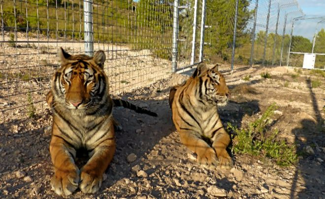 Dos de los tigres que vivían en el circo