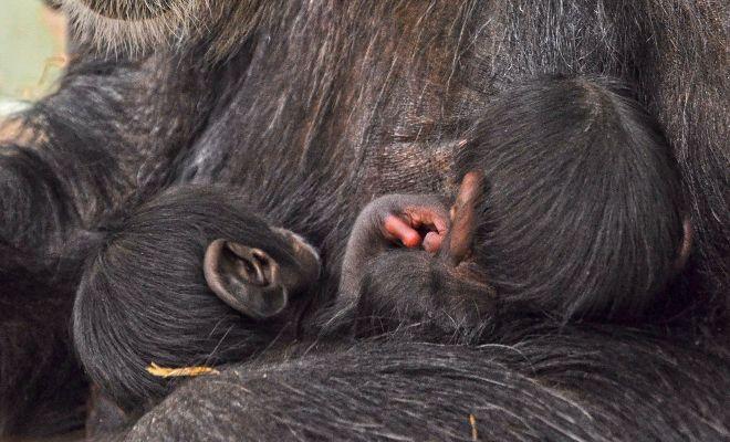 Los bebés chimpacé en brazos de Malín, su madre.