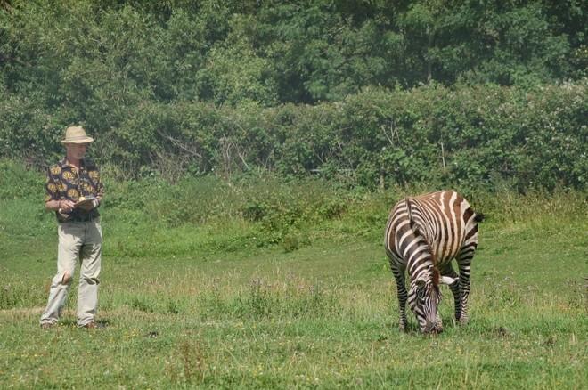 El profesor Tim Caro observa el comportamiento de una zebra ante las...
