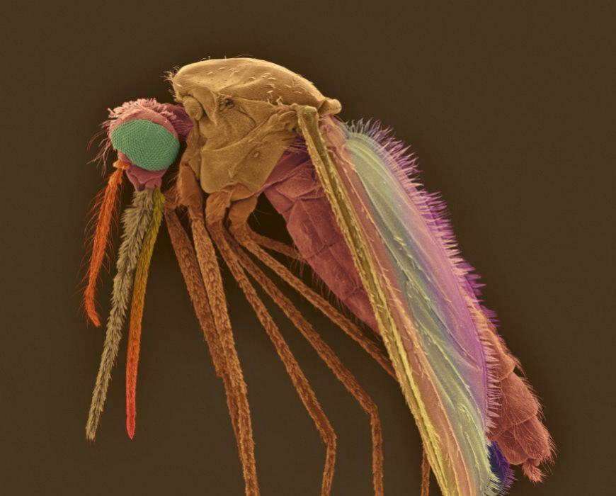 Mosquito portador de la malaria.