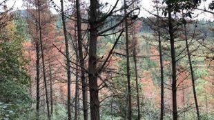 Madrid rechaza el tratamiento áereo con óxido cuproso contra la banda marrón del pino