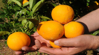 Las claves de la citricultura valenciana (II)