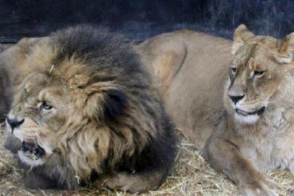 Un león, junto a una leona en un zoo de Santiago de Chile.