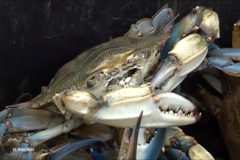 La invasión del cangrejo azul arrasa el Delta del Ebro