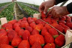 Campaña de la fresa en Huelva.