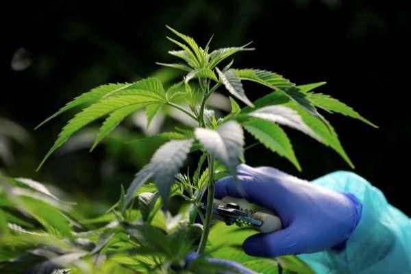 Plantas de marihuana medicinales en Israel.