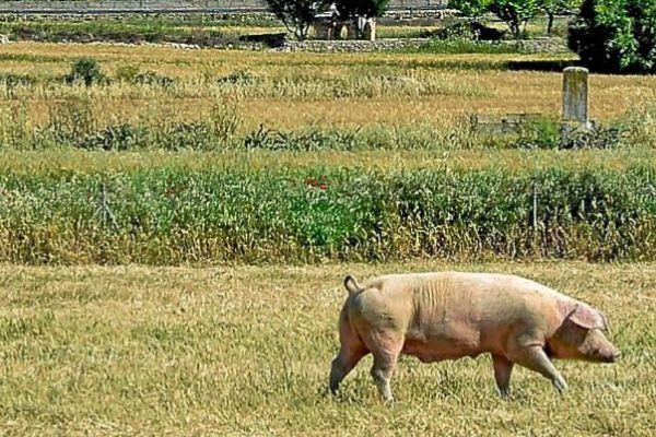 Un cerdo en un campo de trigo de Ariany.