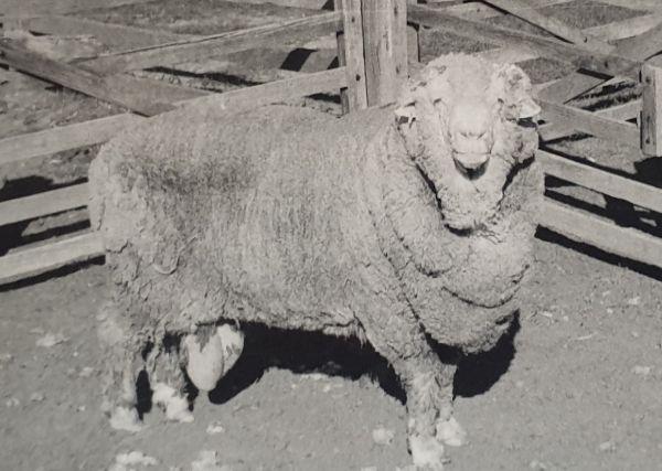 Sir Freddie, uno de los sementales cuyo esperma se congeló, en una foto de 1969.