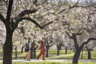 Almendros en flor durante la primavera en Madrid