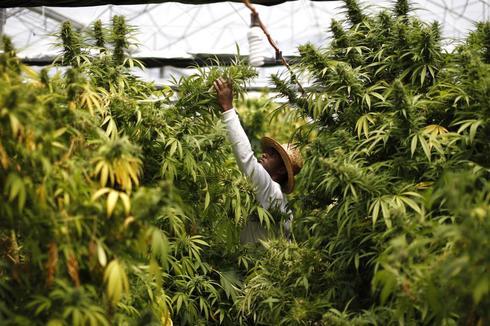 Un trabajador cosecha cannabis en una plantación en Israel.