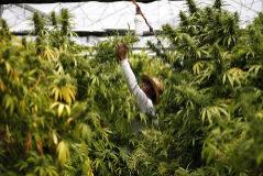Uno de cada cinco casos de psicosis, ligado al cannabis