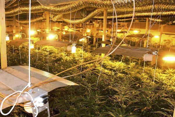 Una plantación ilegal de marihuana.