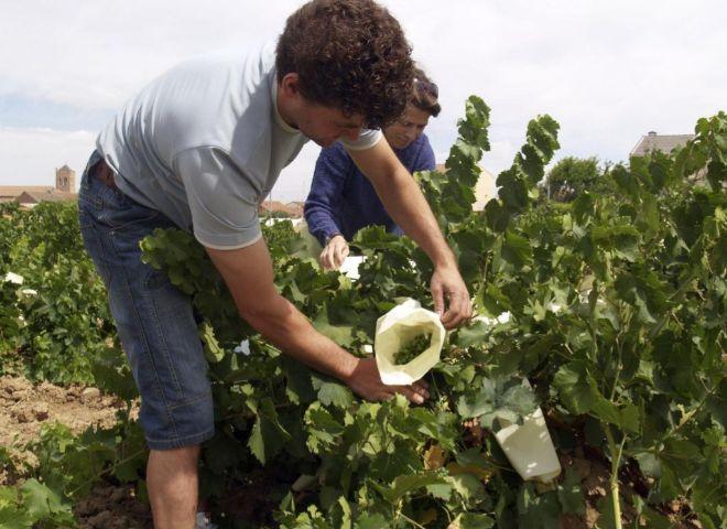 Trabajadores de la bodega de La Seca (Valladolid), cuna del verdejo, protegen los racimos de uvas.