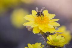 Una abeja recolecta polen en una flor esta primavera