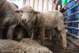 Una de las ovejas nacidas en 2018 utilizando semen recogido en 1968