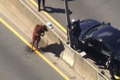 Una vaca paraliza una autopista en Nueva York