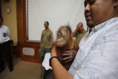 Encuentran un orangután dentro de una maleta