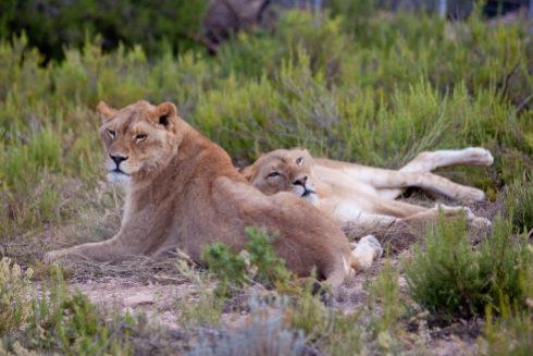 Los leones hermanos Vigo y Kumba, de ocho años.