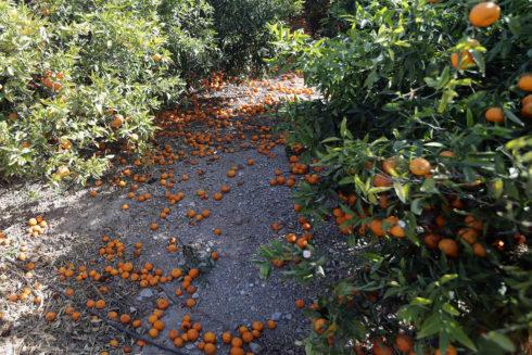 Cítricos en el suelo de un campo de naranjos abandonado.