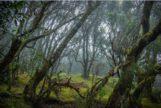 Garajonay, el bosque de los mirlos