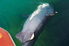 El tiburón hallado en Calvià.