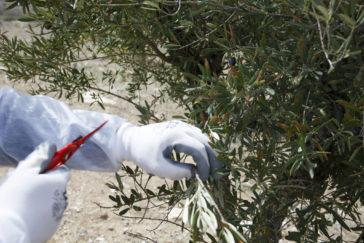 Unos técnicos revisan un olivo para comprobar si está afectado por la xylella.