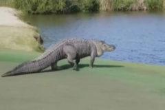 Un enorme caimán irrumpe en un campo de golf