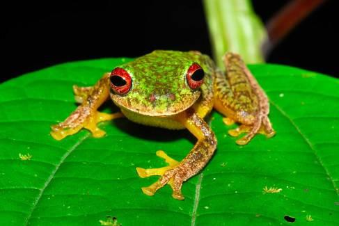 La especie 'Duellmanohyla soralia' vive en bosques tropicales de Guatemala y Honduras