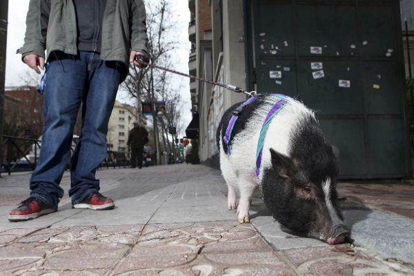 Un cerdo vietnamita pasea con su dueño por el barrio de Salamanca de Madrid