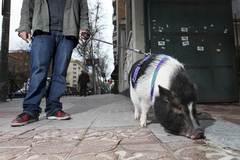 Estará prohibido tener cerdos vietnamitas, tortugas de Florida y varios reptiles