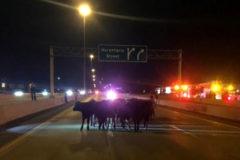 Un grupo de vacas toma la autopista tras un accidente