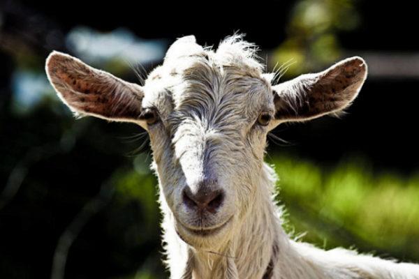 Mark Zuckerberg mató a una cabra y se la sirvió fría al CEO de Twitter