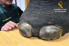 La pata de elefante con forma de taburete intervenida por la Guardia Civil.