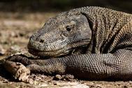 Foto de archivo tomada el 2 de diciembre de 2010 muestra un dragón de Komodo buscando presas en la zona costera de la isla de Komodo