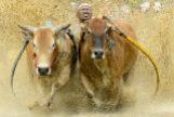 La loca carrera de bueyes que solo podrás ver en Sumatra