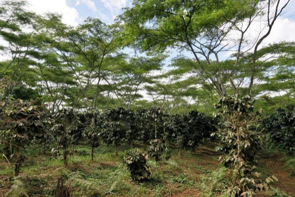 Una de las plantaciones de café en la Meseta de Bolavén, en Laos