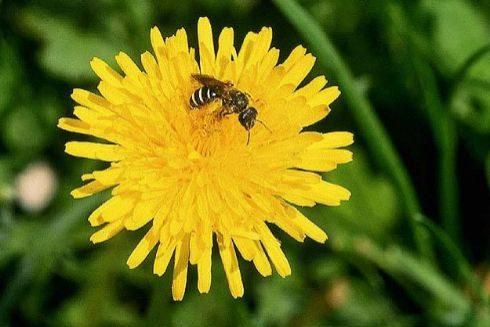Una abeja de la familia de las que estaban en el ojo de una mujer.