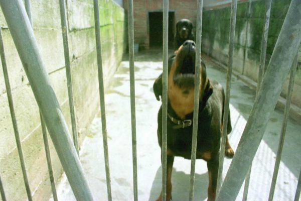 Imagen de un archivo de un perro rottweiler en una perrera