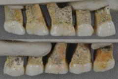 Molares y premonales de la mandíbula superior del 'Homo luzonensis'