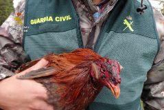 20 imputados  en una operación contra las peleas de gallos y las apuestas clandestinas