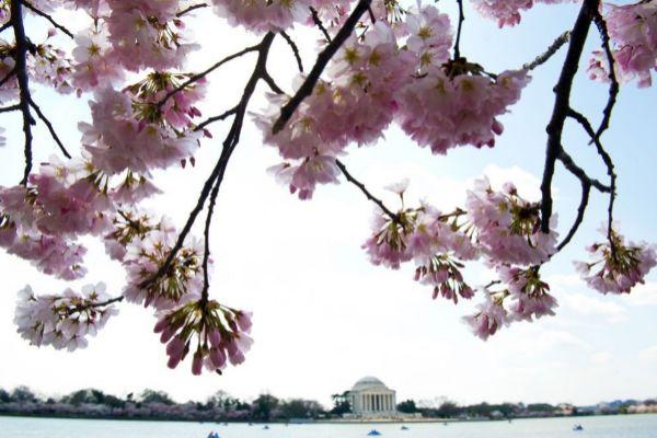 El Monumento a Jefferson se ve detrás de los árboles de cerezo cerca de la Cuenca Tidal en Washington DC.