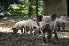 Cerdos de granja como los empleados en el estudio.