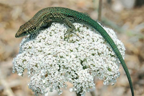 'P. lilfordi addayae', lagartija de Addaia gran.